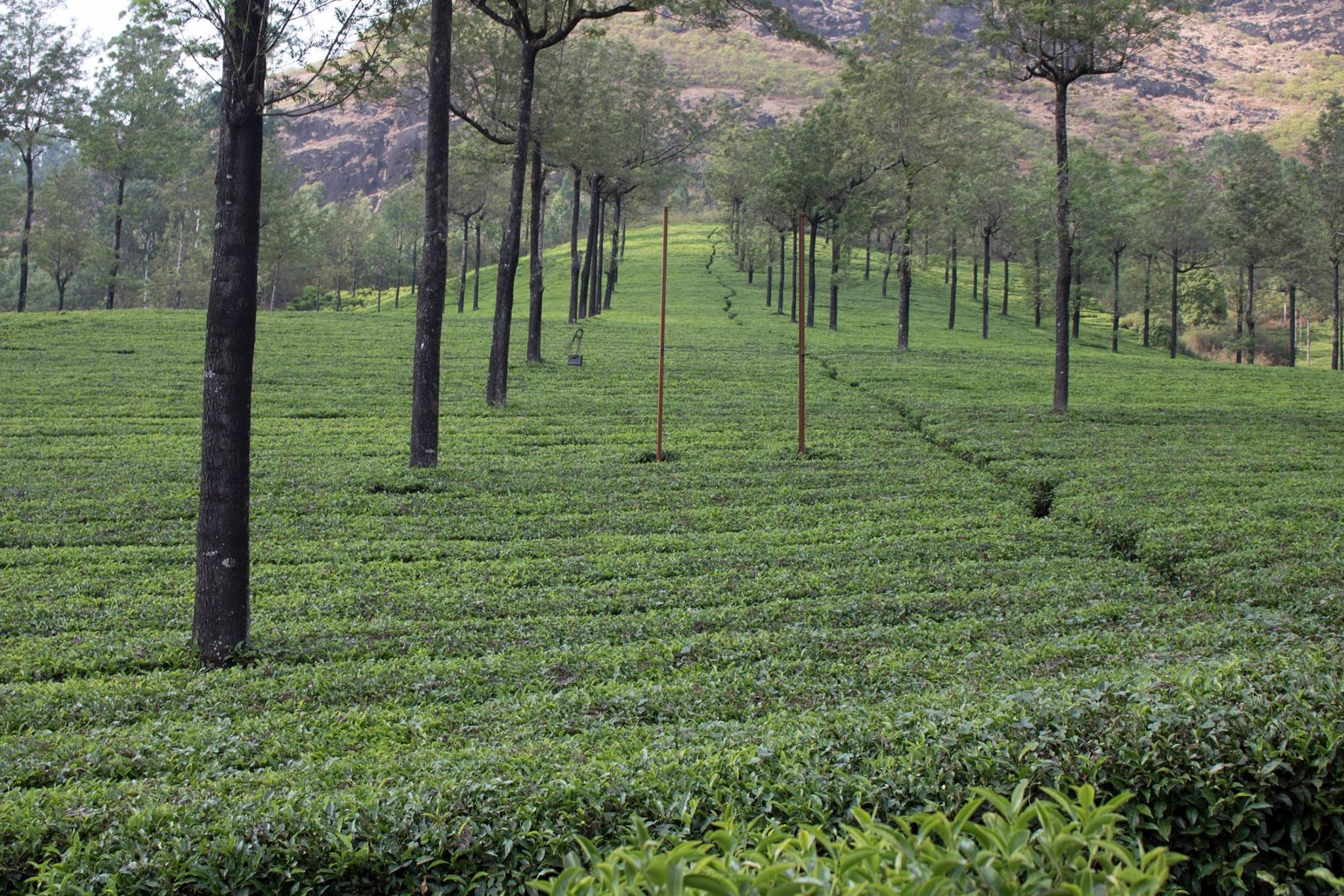 Kerala - Munnar - Tea Gardens
